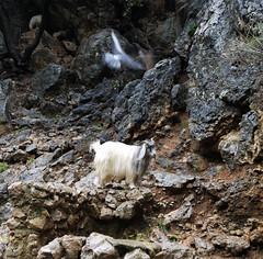 Goat near the Jeita Grotto