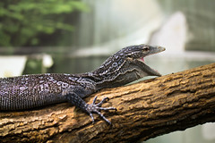 """Blue Monitor Lizard 1 • <a style=""""font-size:0.8em;"""" href=""""http://www.flickr.com/photos/30765416@N06/12160471223/"""" target=""""_blank"""">View on Flickr</a>"""
