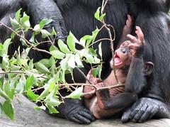 Fumo (myopixia) Tags: chimpanzee taronga tarongazoo fumo pantroglodytes myopixia
