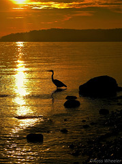 Blue Heron Sunset (RossWheeler) Tags: seattle blue sunset shadow orange sun black color bird beach heron water colors beautiful silhouette sunrise lens island photo washington ross nw shadows waterfoul pacific northwest  contest beak feathers sound winner wa wheeler times win blueheron pnw puget vashon vashonisland phptography readers seattletimes blueheronsunset rosswheeler readerslens