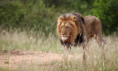 Already Thinking About Monday Morning ? (AnyMotion) Tags: africa travel male nature animal animals cat southafrica tiere reisen wildlife ngc lion npc afrika katze limpopo löwe 2014 pantheraleo anymotion canoneos5dmarkii 5d2 karongwegamereserve