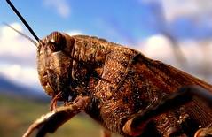 DSC00442 (Imad Z. ) Tags: macro nature animal zeiss insect italian italia foto photographer natura carl grasshopper makro imad animale iraqi insetto fotografo  cavalletta          iracheno zebala blinkagain
