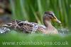 Water Off A Ducks Back ([[BIOSPHERE]]) Tags: uk bird nature garden duck leicestershire wildlife mallard