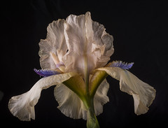 New Iris for Spring