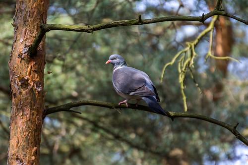 Common Wood Pigeon - Holub hřivnáč