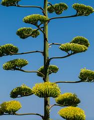 Noble Agave (Raggedjack1) Tags: flower green mediterranean agave noble centuryplant aamericana
