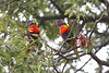 Rainboiw Lorikeets. Sydney Botanical Gardens. (Chris Firth of Wakey.) Tags: australia rainbowlorikeet sydneybotanicalgardens