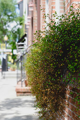 109/365 - Urban shrubs (ahh.photo) Tags: street city plants stone wall orlando florida sidewalk winterpark hanging fujifilm shrubs xt1 xf56mmf12r