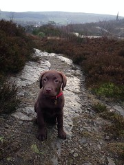 Ruby The Chocolate Labrador (RHL Images) Tags: