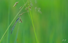 Agrion perch (PierrickBloin) Tags: wild macro animal animals insect miniature wildlife insects animaux insecte insectes libellule libellules odonate macrophotographie arthropode arthropodes invertbrs invertbr insectesarthropode wildwildlifemacrocanon400d