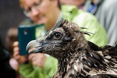 20140529_101612_Bartgeier.jpg (daniel.boegli) Tags: tier vogel bartgeier