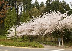Spring bossoms near the Portland Japanese gardens (Anna Calvert Photography) Tags: road trees plants nature gardens portland spring unitedstates environment japanesegardens bossoms