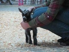 Baby goat! (Snapshots by ©Nixy J Morales) Tags: baby goat showmanship