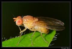 Sapromyza sexpunctata (cquintin) Tags: arthropoda diptera lauxaniidae sapromyza sexpunctata