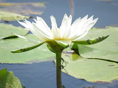 white lady (oneroadlucky) Tags: white plant flower nature waterlily lotus