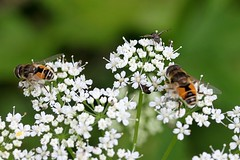 Two Male Drone Flies Feasting On More Ground Elder Blossoms - Eristalis Tenax (Chrisser) Tags: ontario canada nature insect fly insects flies syrphidae dronefly lens00025 eristalistenax droneflies canoneosrebelt1i canonefs60mmf28macrousmprimelens