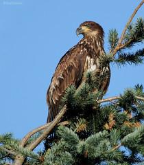 Bald Eagle - 186a2c1 (Sue Coastal Observer) Tags: bird bc britishcolumbia baldeagle surrey birdofprey serpentinefen