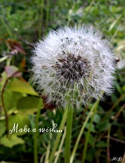 Make a Wish... (melanie.berg67) Tags: flowers nature makeawish