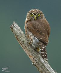 Juvi On A Stick (Northern Pygmy Owl) (The Owl Man) Tags: