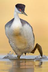 Western Grebe (Matt F.) Tags: bird grebe western