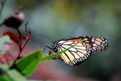 Monarch on Toyon (TJ Gehling) Tags: insect lepidoptera butterfly nymphalidae monarch monarchbutterfly danaus danausplexippus plant bush shrub rosales rosaceae toyon hetermeles heteromelesarbuttifolia albanyhill albanyca