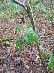 20170219--IMG_3316.jpg (r.mcminds) Tags: spermatophyte rubus eudicot rosaceae rosid rubusarmeniacus angiosperm fabid plant rosales floweringplant himalayanblackberry philomath oregon unitedstates us