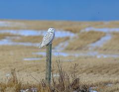 Snowy Owl (Khanh B. Tran) Tags: