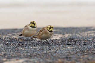 Shorelark, East Chevington, Northumberland, England