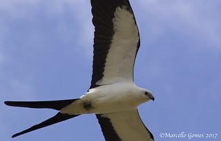 Swallow-tailed Kite (Elanoides forficatus) STKI - Flew right over me...first of season.
