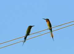 Blue Tailed Bee-eaters (sharmaneeraj) Tags: blue india love wire bee chennai tailed eater beeeater bluetailedbeaeater siruthavur