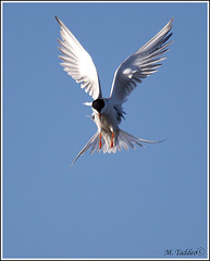 frank-lake0064 (Mike Taddeo) Tags: bee avocet bird fly tern flap hover summer spring canada canon 5d frank lake water photo photography black white