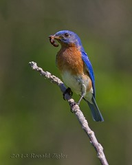 Bluebird with worm IMG_3578 (ronzigler) Tags: birds thrush songbird birdwatcherbluebird