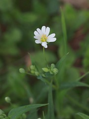 Stitchwort (Evenweirderfish) Tags: uk reading stellariaholostea caryophyllaceae greaterstitchwort cowsey