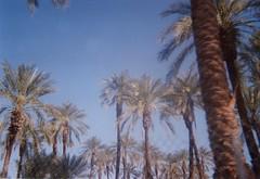 (spitting venom) Tags: flowers trees sky film nature palms desert palmtrees tropical coachella disposable disposablefilm