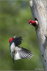 A near impalement (Earl Reinink) Tags: ontario canada art nature photography woodpecker nikon flickr photographer nest image images earl flikr d4 art nikon photography images nature lens ontario canada ontbirds fine earl flight photographer lenses woodpecker woodpecker reinink nesting reinink d4 niagara redheaded 201306090442