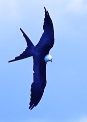 Kite Coming! (Feathered Trail Photos) Tags: mfcc swallowtailedkite thegalaxy floridabirds circlebbarreserve lakelandbirds polkbirds lakehancockbirds buckinghamnaturephotography