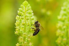 Workforce (Dirk Duckhorn) Tags: flowers bee honey bloom bremen pollen horn botanicalgarden rhododendronpark