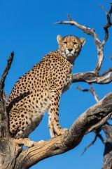 20130620_Namibia_Naankuse_Cheetahs_0197.jpg (Bill Popik) Tags: africa mammals namibia cheetahs 2places 3animals africancats