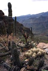 Jardines de la Sierra 1001-01 (fernandodelatorre46) Tags: cactus mxico cacti mexico desert bajacalifornia desierto baja agave bajacaliforniasur echinocereus stenocereus pachycereuspringlei wildcactus desiertomexicano desiertodevizcano cactusdemexico agavevizcainoensis