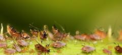 Parasitic wasp predating (Andyfrog321) Tags: andy bug baker smallcreature