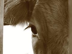 Peek-a-coo! (Pog's pix) Tags: macro cute closeup sepia scotland cow cattle farm peeking farmanimal renfrewshire peekacoo