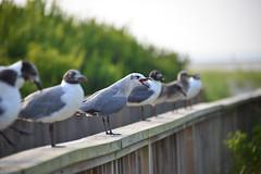 The Squawky Wheel Gets All The Focus (Daveyal_photostream) Tags: red seagulls beach beautiful beauty birds photoshop fence nikon focus bokeh seagull beak noise birdy birdseye lightroom squawk beaks d600 centerfocus birdsfeet squawking loudbird
