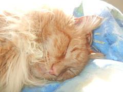 DSCN1433 deeply sleeping in the sunny spot (drayy) Tags: sleeping orange sun cat ginger bed sleep fluffy sunny sleepy mainecoon neko ggg sunnyspot cc300 cc200 cc100 oreengeness velvetpaws thebiggestgroupwithonlycats