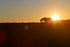 Taller Than the Clouds (TW Collins) Tags: horse newyork sundown farm upstate lensflare stables intothesun washingtoncounty chestnutridge