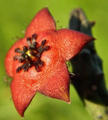 """orbea longii"" (A Botanical Wonderland (Million+ views)) Tags: species stapelia orbea asclepiadaceae huernia duvalia caralluma longii"