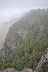 Pinar de Tamadaba, Gran Canaria (Pablo F. J.) Tags: fog bosque neblina pino niebla pinar vulcanism geomorphology pinuscanariensis endemismo endemism physicalgeography geomorfologa vulcanismo magmatism magmatismo geografafsica