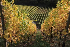 Ahrtal, Ahr Valley, vineyard (Eifeelgood) Tags: autumn fall vineyard indiansummer eifeelgood