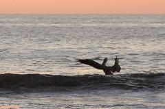 ConductorWithNoOrchestra (mcshots) Tags: ocean california autumn sunset sea sky usa bird nature water birds animals coast wings stock flight feathers pelican socal swells seabird losangelescounty mcshot