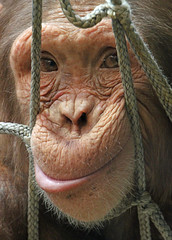 Chimpanzee (Buggers1962) Tags: portrait nature face animal closeup canon mammal zoo monkey eyes close chimp wildlife ape chimpanzee primate colchester colchesterzoo greatphotographers simplysuperb itsazoooutthere canon7d highqualityanimals
