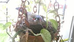 Me and My Nest (arjun_mohan2000) Tags: urban india bird home window garden apartment nest mumbai rare bulbul chembur